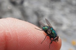 blowfly perching on a finger