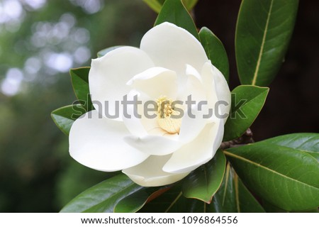 Blown beautiful magnolia flower on a tree with green leaves. - Shutterstock ID 1096864556