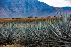 Blue agave field near Santiago de Tequila, Jalisco, Mexico