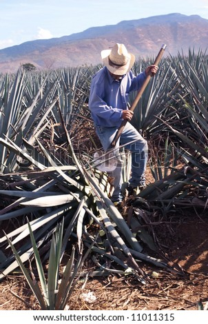 Blue agave harvesting to make tequila - stock photo