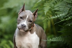 Blue American staffordshire terrier, amstaff, stafford pit bull puppy looking to camera in forest ferns