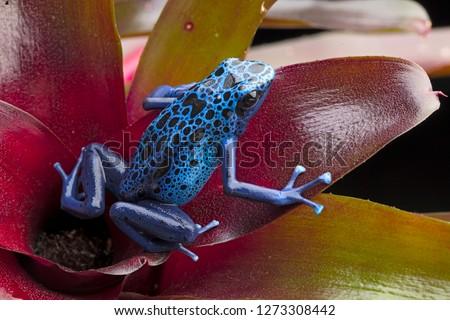 Blue and black poison dart frog, Dendrobates azureus. A beautiful poisonous rain forest animal in danger of extinction. Pet amphibian in a rainforest terrarium.  ストックフォト ©