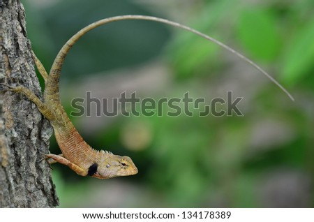 Blue and brown lizard (lacerta viridis), beauty colorful with blue background and nice tail in curve shape, tree lizard, monster, gecko
