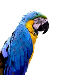 Blue-and-Gold (Ara ararauna) or Blue and yellow, beautiful macaw parrot bird showing its vivid feathets isolated on white background, fascinated animal