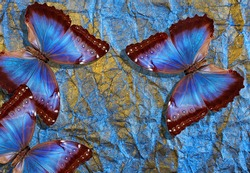blue and gold background. bright tropical blue morpho butterflies on golden blue pastel background