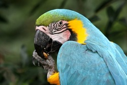 Blue and Gold Macaw bird eating a nut or seed