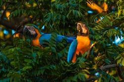 Blue and gold macaw in Brazil (Ara glaucogularis; Arara Caninde; Arara-canindé) on the tree. Bird symbol of the Pantanal.