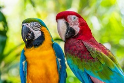 Blue and Gold Macaw or Ara Ararauna and Green Winged Macaw or Ara Chloroptera cute pets colorful birds, Beautiful nature of wildlife closeup face of a parrot is red and yellow on the green background