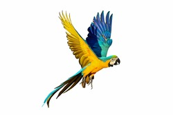 Blue and gold macaw parrot isolated on white background.