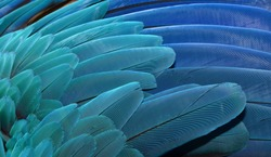 Blue and Gold Macaw wing feathers isolated. parrots