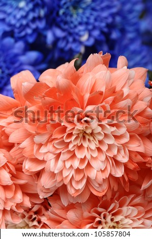 Blue and  pink flowers aster for background or texture - stock photo
