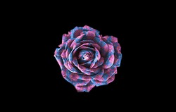 Blue and pink rose isolated on black background. Pink and blue rose isolated on black background. Blue and pink floral background. Pink and blue floral background.