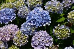 Blue and purple blooming hydrangeas