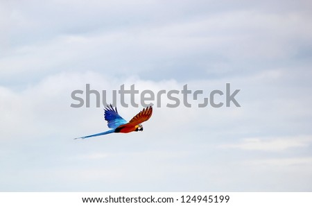 Blue and red ara macaw flying in cloudy sky