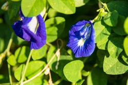 Blue and violet flower in the garden called clitoria ternatea, bluebellvine, asian pigeonwings, butterfly pea, blue pea, cordofan or darwin pea.