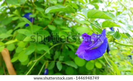 Blue and violet flower in the garden called clitoria ternatea, bluebellvine, asian pigeonwings, butterfly pea, blue pea, cordofan pea or darwin pea.