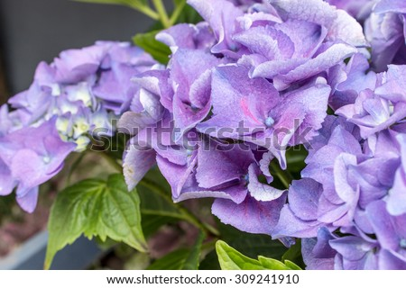 blue and violet hydrangea flowers / hydrangeas / flowers