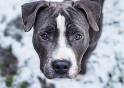 Blue and white American Staffordshire Terrier, Amstaff puppy dog looking into the camera bright Blue eyed pitbull Portrait with snowy background