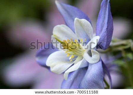 Blue and white Columbine against blurred Clematis background.