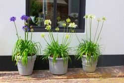 Blue and white flowering Agapanthus plants in three grey ceramic pots at facade of typical Dutch house