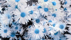 Blue and white flowers background. Blue and white floral background. White and blue flowers backdrop. White and blue floral background.