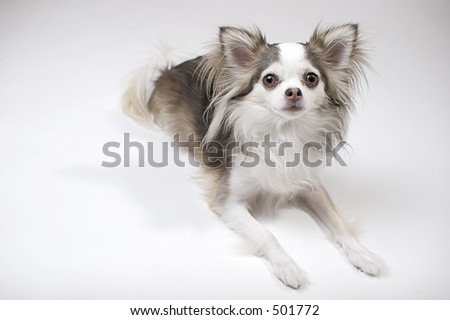 Chihuahua - Long Haired - Toy Dogs - Dog Breed Listings | Pets.ca