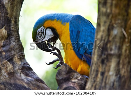 Blue-and-yellow Macao parrot sitting half-face between two branches, cleaning his feet, Iguazu, Brazil