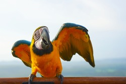 Blue and yellow macaw (Ara ararauna), also known as the blue-and-gold macaw is a large South American parrot on wooden perch.