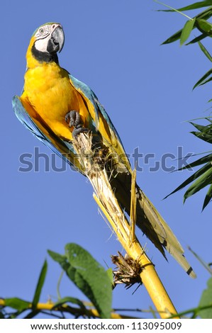 Blue-and-yellow Macaw - Ara ararauna in front of a blue sky in the rainforest perching on a branch