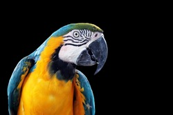 Blue-and-yellow macaw (Ara ararauna), Macaw parrot on black background