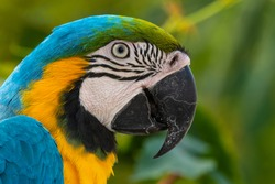 Blue-and-yellow Macaw Close Up Side Profile