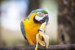 Blue and yellow Macaw eating banana; Boracay; Philippines