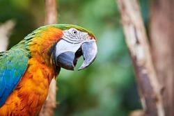 Blue-and-yellow macaw head closeup (Ara ararauna), exotic bird