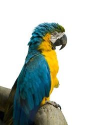 Blue and Yellow Macaw in a white background.