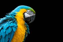 Blue-and-yellow macaw isolated on black (Ara ararauna)