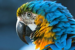 Blue-and-yellow macaw (lat. Ara ararauna) close-up
