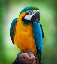 Blue and yellow Macaw native to Latin America. Large South American parrot with mostly blue top parts and light orange underparts, with gradient hues of green on top of its head.