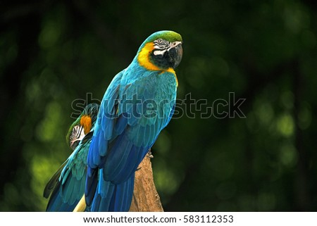 Stock Photo Blue-and-yellow macaw or blue-and-gold macaw, Ara ararauna, bird of the Psittacidae family and one of the most famous parrots of the world