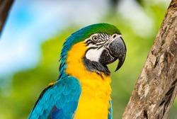 blue and yellow Macaw parrot ( Ara ararauna ) arara-canindé