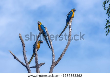 Blue and yellow Macaw photographed in Chapada dos Veadeiros National Park, Goias. Cerrado Biome. Picture made in 2015.