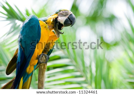 blue and yellow macaw scratching