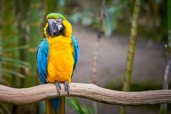 Blue-and-yellow macaw sitting on a branch (Ara ararauna), exotic bird