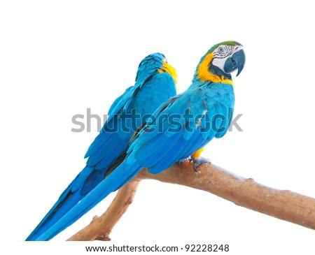 Blue-and-Yellow Macaws (Ara ararauna)