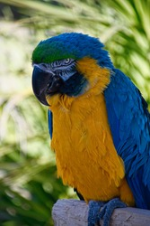 Blue and Yellow McCaw on a Perch