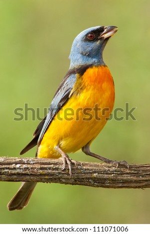 Blue-and-yellow Tanager eating a piece of orange. Isolated.