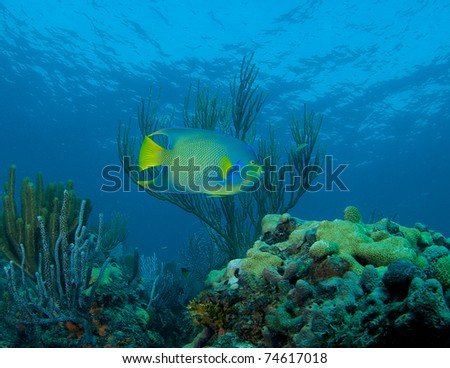 Blue Angelfish swimming over a reef in south east Florida.