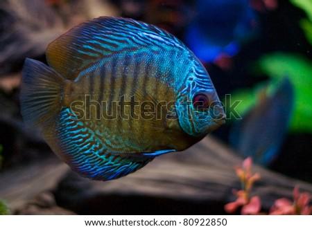Blue aquarium fish