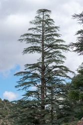 Blue Atlas Cedar (Cedrus Atlantica) trees in their natural habitat in Belezma national park, Batna, Algeria