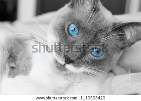blue ayes cat and pet #1110503420