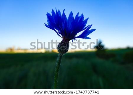 Blue Bławatek Chaber  in the evening against the sky, a field flower   Zdjęcia stock ©
